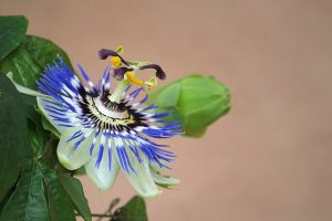 best-natural-remedies-for-anxiety-passion-flower
