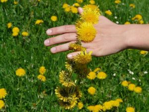 dandelion-weight-loss-patches