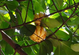 garcinia-cambogia-weight-loss-patches