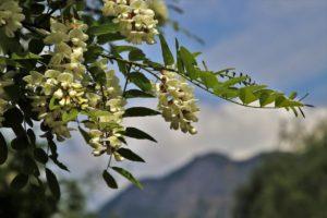 acacia-flowers