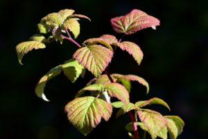 red-raspberry-leaf-tea