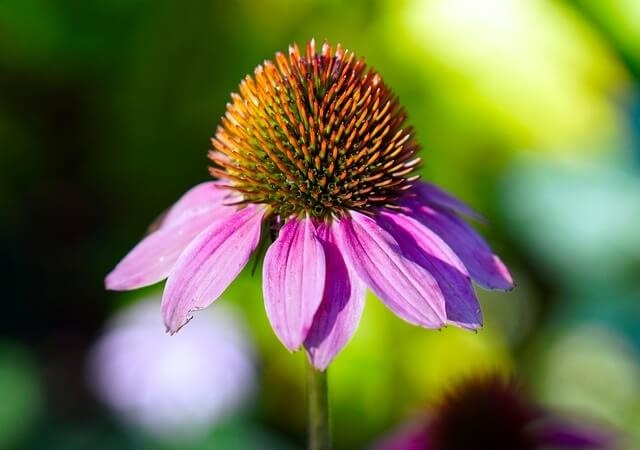 echinacea-and-immune-system