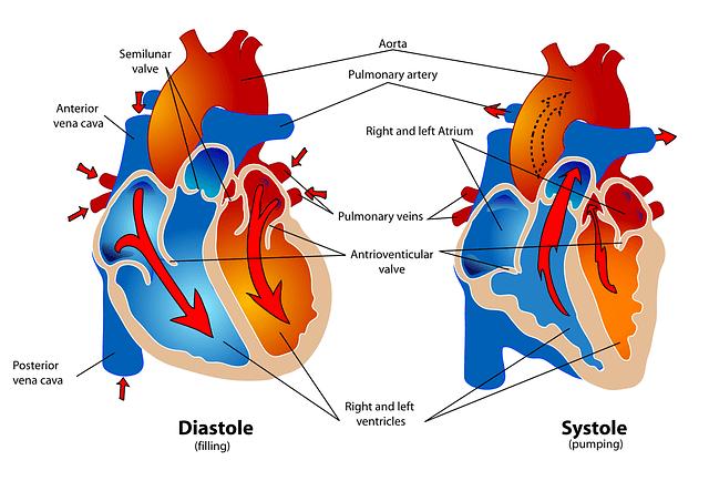 Rhodiola-and-cardiovascular-system