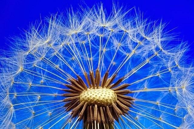dandelion-to-detox-the-liver